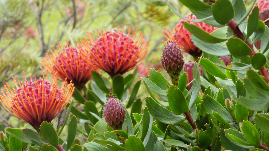 Close up of red pincushion protea plant flowering in garden