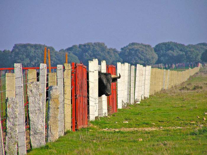 Bull Looking Through Fence
