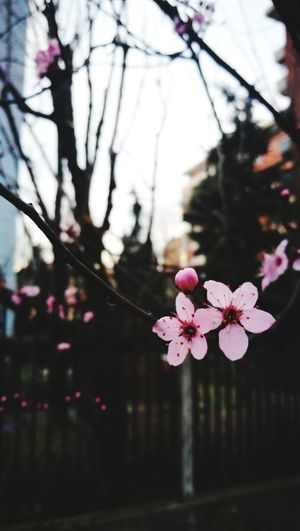 Flower Head Tree Flower Branch Springtime City Pink Color Plum Blossom Petal Blossom