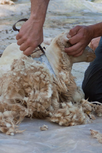 Tradition Domestic Animals Mammal Old Job  Sardinia Shearing Shearing Sheep Sheep Sheep Shearing Sheep Shears Traditional Wool