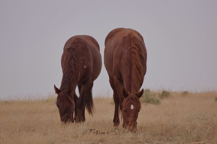 Wild Wyoming horses Horses Wild Sweetwater County Environment Wyoming Wildlife Wyoming Landscape Wyoming Animal Themes Animal Animal Wildlife Animals In The Wild Mammal Group Of Animals Nature Vertebrate No People Land Two Animals Brown Field Day Grass Herbivorous Grazing Sky