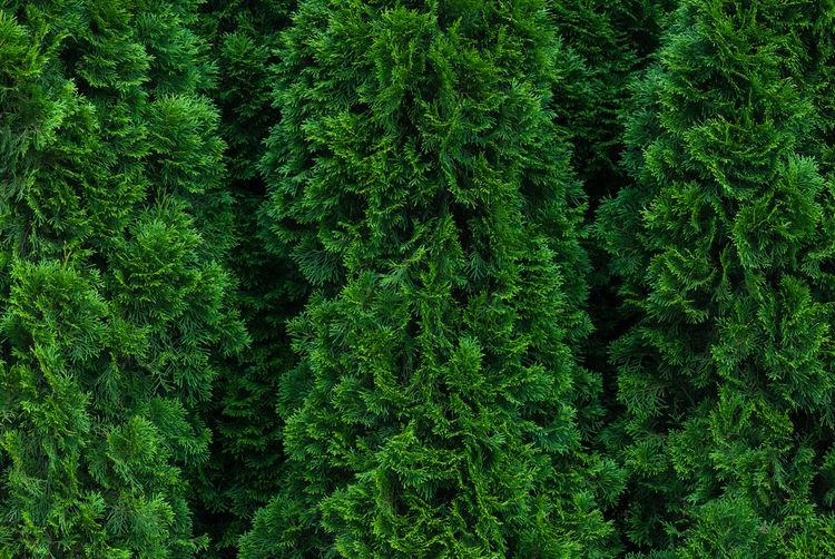 Botanical full-frame texture of thuja trees grown as green hedge - thuja occidentalis, closeup