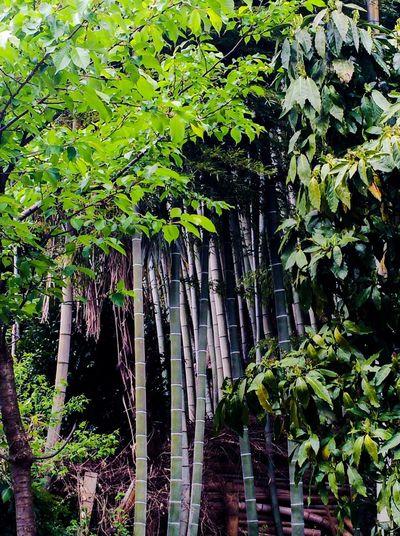 竹林 Streetphotography Woods Of A Bamboo Afternoonphotography