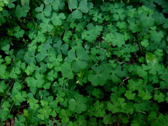 Colour Of Life Clover Field Hello World Check This Out My Backyard EyeEm Gallery Check This Out