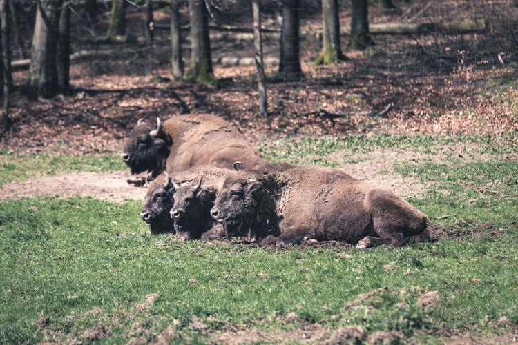 European bison sitting on land
