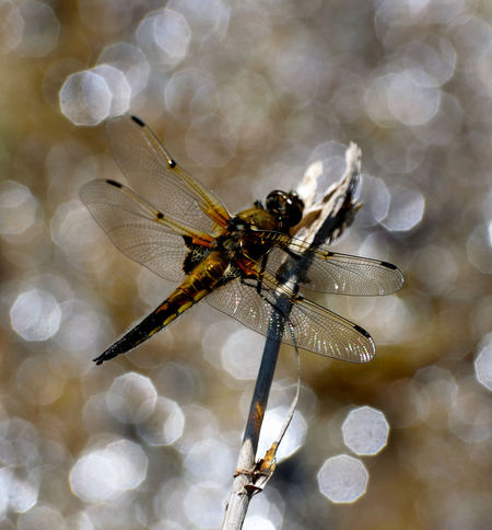 Animal Themes Animal Wildlife Animals In The Wild Beauty In Nature Close-up Colour Darter Delicate Dragonfly Flicker Insect Insect Photography Insects  Light Light And Shadow Nature Outdoors Perched Sparkling Wings