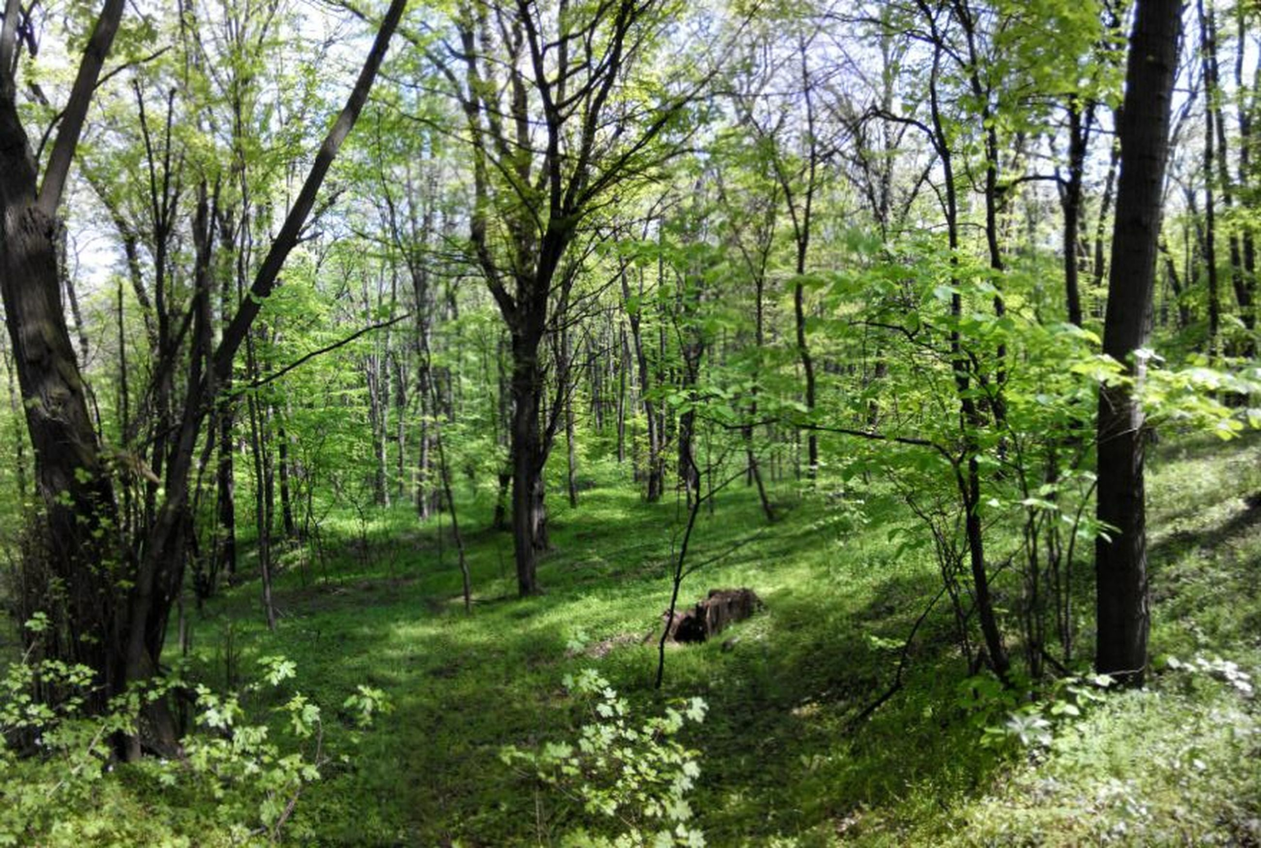 tree, forest, growth, tranquility, green color, tranquil scene, beauty in nature, tree trunk, nature, scenics, woodland, branch, lush foliage, non-urban scene, landscape, green, plant, idyllic, grass, day