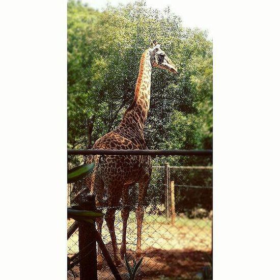 Animal Photography Zoo Day Zoológico ZooLife Zoo Photography  Zoológico🐵 Zooanimals Zoologicodesaopaulo Zoo Animal Zoophotography ZOO-PHOTO ZoologicoSp Zoo Giraffe Giraffe♥ Giraffe ♡ Giraffe.  Girafa Giraffes Giraffes! Girafaselvagem Girafa, Giraf Giraffa Giraff
