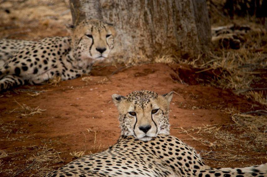Cheetah Madikwe Africa Relax Wildlife