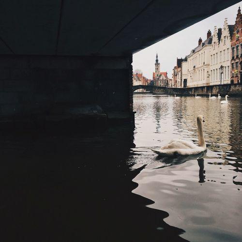 Bruges Swan Belgium