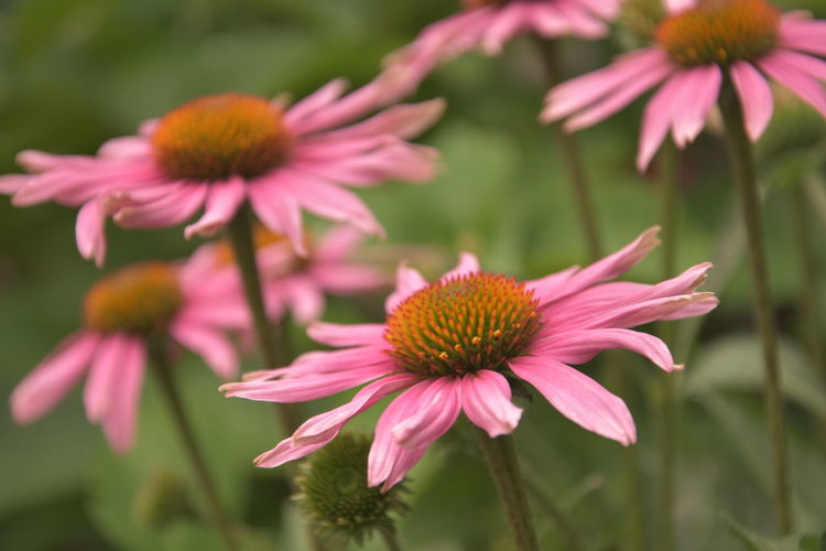 Beautiful pink flowers Beauty In Nature Close-up Coneflower Day Flower Flower Head Flowering Plant Focus On Foreground Fragility Freshness Growth Inflorescence Nature No People Outdoors Park - Man Made Space Petal Pink Color Plant Pollen Vulnerability