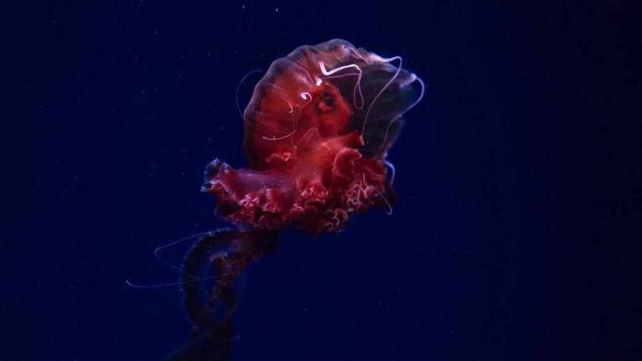 jellyfish Animals In The Wild Underwater Animal Themes Animal Wildlife Sea Sea Life Animal Marine Water One Animal Swimming Invertebrate Jellyfish UnderSea Nature No People Vertebrate Aquarium Purple Blue