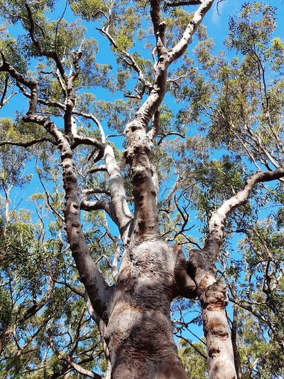 angophora or Sydney Red Gum. Australian gum tree. Nature Wildlife GumTree Angophora Sydney Red Gum Tree Australian Landscape Australian Plants Flora Human Hand Close-up Directly Below Upward View Tree Canopy  Blue Color Treetop Tree Trunk Bark Branch