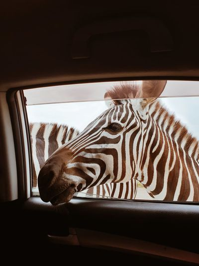 Zebras looking into car