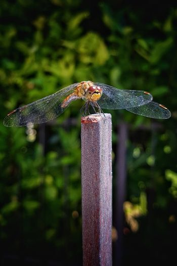 Close-up of dragonfly perching on wooden post