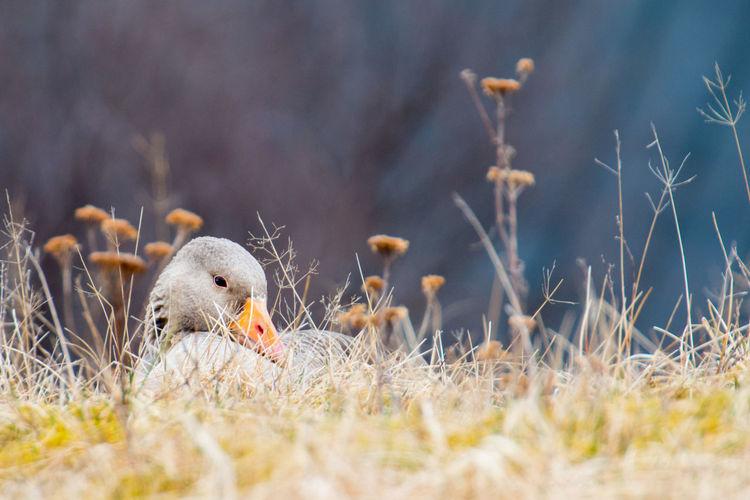 Animal Wildlife Close-up Duck Grass Iceland Nature Shy