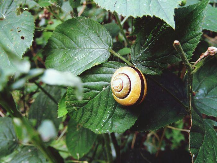 Snail Leaves
