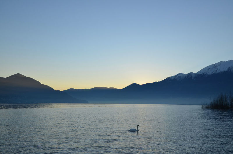 Swan Swimming In Lake Maggiore With Silhouette Mountains Against Clear Sky
