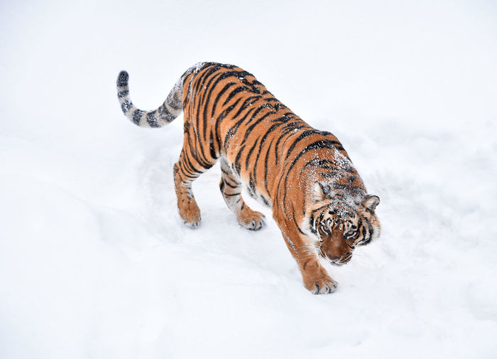 Zebra in snow