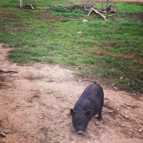 Mini pig ?? Sundays Wildlife Autumn