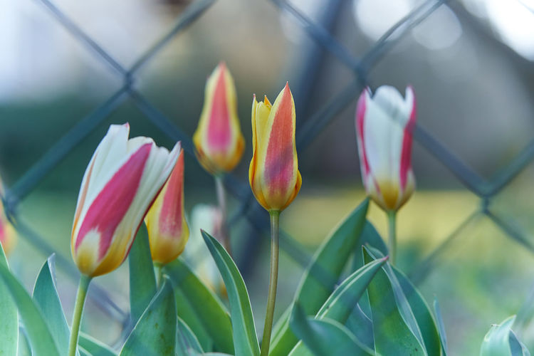 Plant Beauty In Nature Growth Flower Flowering Plant Freshness Close-up Vulnerability  Petal Fragility Nature Focus On Foreground Inflorescence Day No People Flower Head Selective Focus Pink Color Tulip Bud Outdoors Sepal