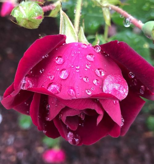🌹💦 Nature Nature_collection Drop Wet Water Close-up Plant Growth Flower RainDrop