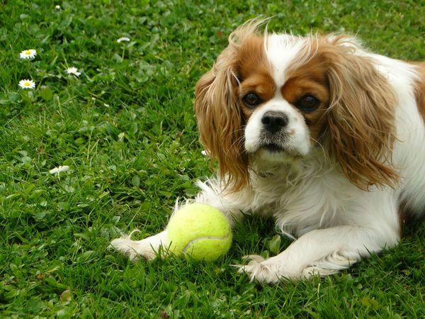 Dog Cavalierkingcharlesspaniel Pet Cute Honey Love Darling Omgsocute Iloveher Adelelangdon's