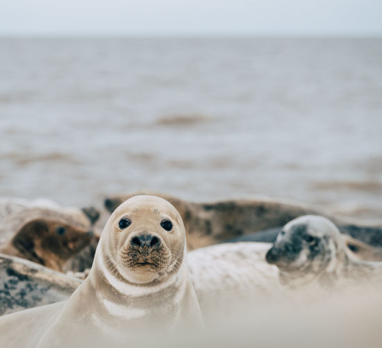 Close-up portrait of seal on beach