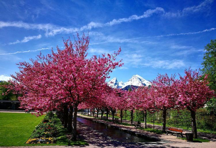 Kirschblüte im