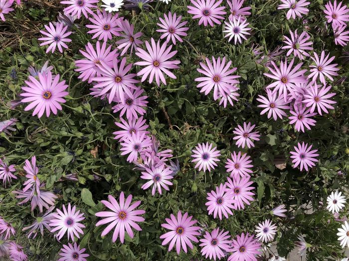 Backgrounds Beauty In Nature Close-up Day Flower Flower Head Flowering Plant Fragility Freshness Growth High Angle View Inflorescence Nature Pattern Petal Pink Color Plant Purple Vegetation Vegetation Textures Vulnerability