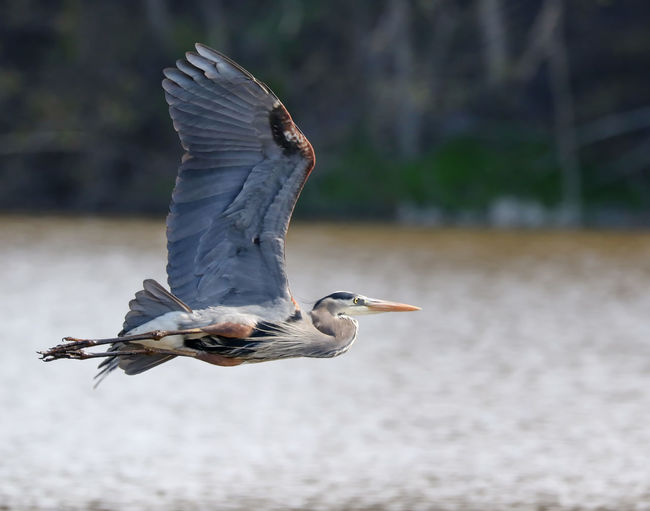 Gray heron flying over lake