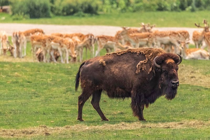 The bison.