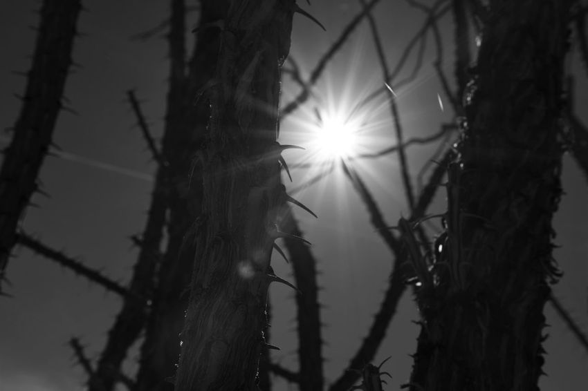 Cactus Beauty In Nature Black And White Blackandwhite Close-up Day Focus On Foreground Lens Flare Monochrome Nature No People Ocotillo Outdoors Plant Sky Sun Sunlight Thorn Tranquility Tree