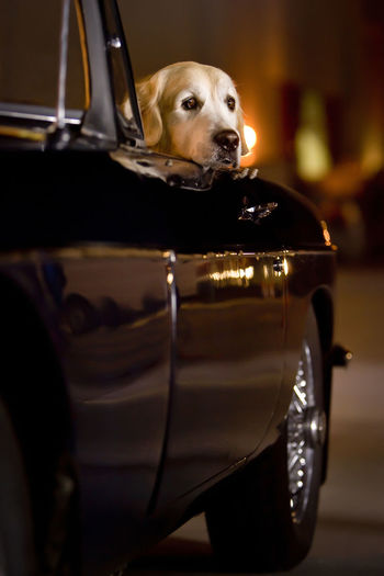 Portrait of labrador  dog in car