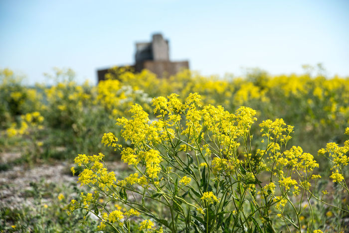 Abandoned Abundance Beauty In Nature Blooming Blossom Close-up Concrete Blocks Estonia Field Flower Flower Head Focus On Foreground In Bloom Industrial Nature No People Outdoors Petal Plant Rural Scene Saaremaa Selective Focus Yellow