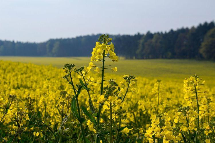 Oilseed rape growing on farm against sky