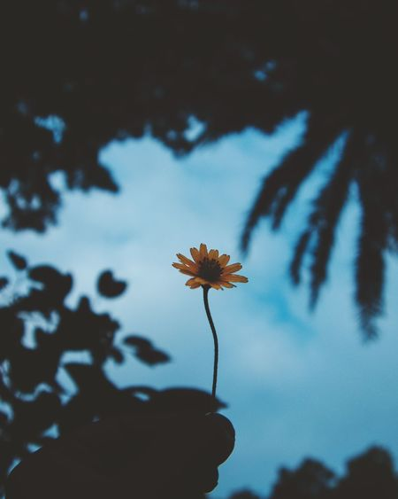 Asthetic Wild Sky Beauty Flower Head Flower Blue Sky Close-up Plant Cosmos Flower Wilted Plant Poppy Stem Bud
