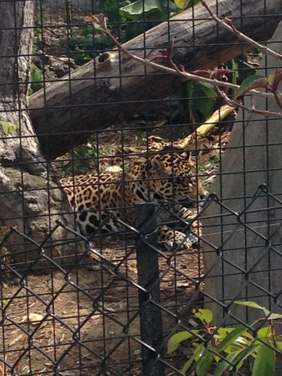 Le guépard (j'aurais aimé le voir courir mais vu l'espace 😟...) Guepard Animales Animals First Eyeem Photo Photography EyeEm Chats