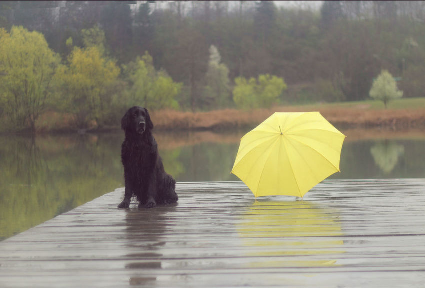 Rainy Days Animal Themes Black Color Day Dog Domestic Animals Falt Coat Retriwer Lake Mammal Nature No People One Animal Outdoors Pets Sitting Tree Umbrela Water Waterfront Yellow