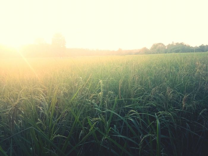 Agriculture Field Nature Farm Rural Scene Growth Sunlight Crop  Beauty In Nature Outdoors Scenics Tranquility Tranquil Scene Sky Cereal Plant No People Day Landscape Tree Grass