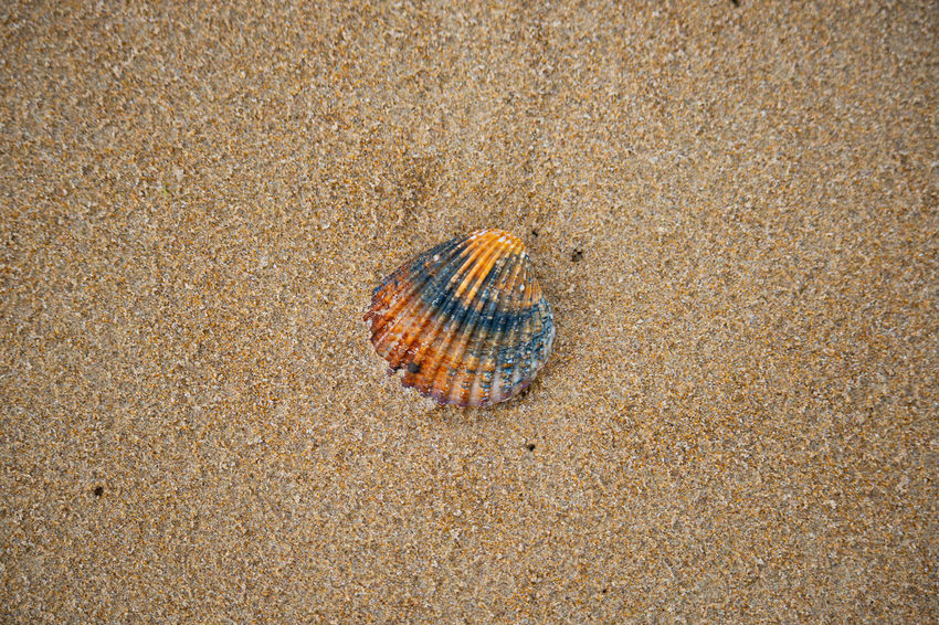 Shell in the sand. Beach Life Beachphotography Sand Dune Sandy Beach Beach Sand High Angle View Close-up Seashell Animal Shell Shell Mollusk Tortoise Shell Animal Antenna