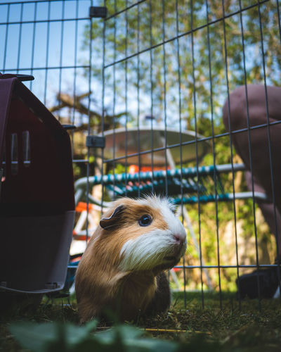 Close-up of a guinea pig in cage