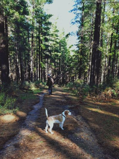 Summer The Beagle Pinery Man Man And Dog Pine Tree Pine Woodland Sunshine Shadow Beagle Weekend Walk Tree Pets Forest Dog Leaf Pathway Narrow Long Woods Tree Trunk Leaves Dirt Track EyeEmNewHere