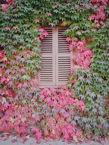Ivy Covered Ivy Leaves Langhe Autumn Colors Autumn Leaves Textures And Surfaces Details Of Nature Leaf Plant Growth No People Day Ivy Window Nature Outdoors Creeper Plant Pink Color Autumn Building Exterior Beauty In Nature