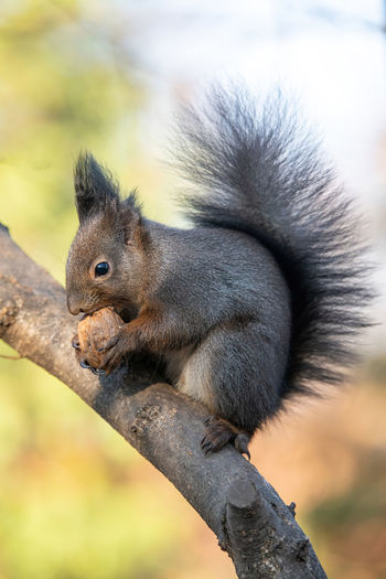 Close-up of squirrel sitting on branch