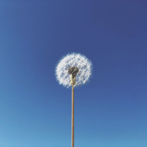 Low Angle View Blue Dandelion Clear Sky Nature Flower Beauty In Nature Outdoors Day Flower Head Sky Fragility Mobility In Mega Cities