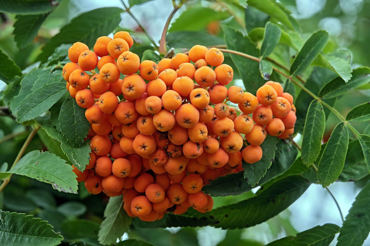 Close-up of fresh orange fruits on tree