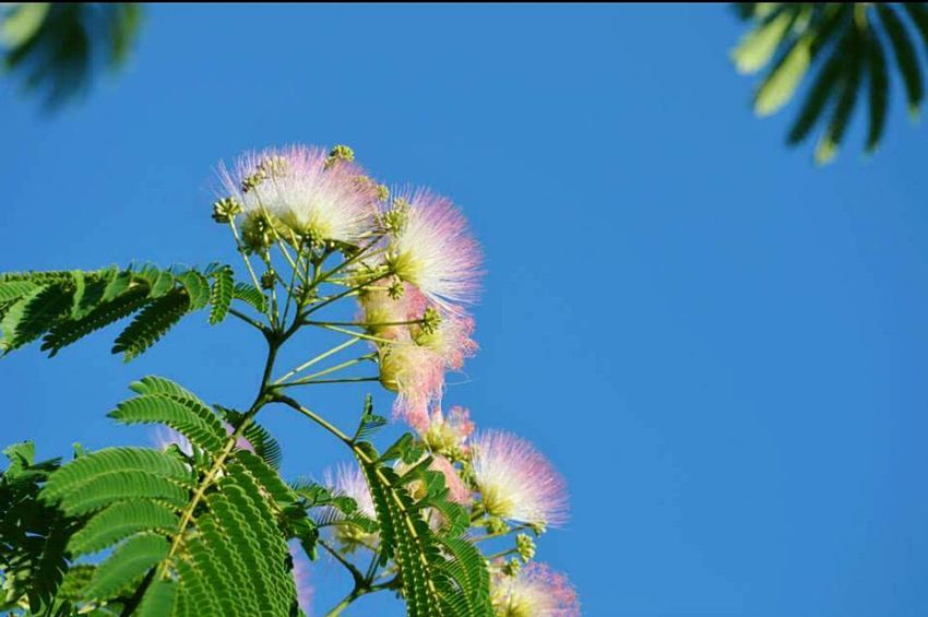 Trees In Bloom Summer Blooms Creative Power South East Persian Silk Tree No Filter