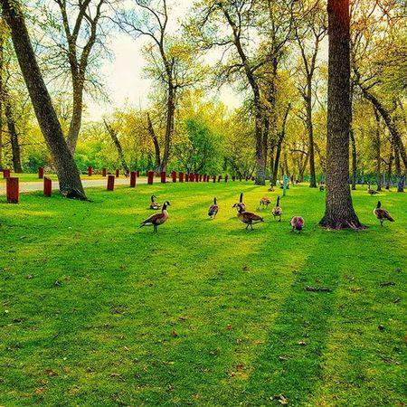 Northdakota USA Nature Green Sun Grass Oakpark Woods Duck Ducks Summer In Nd Bright