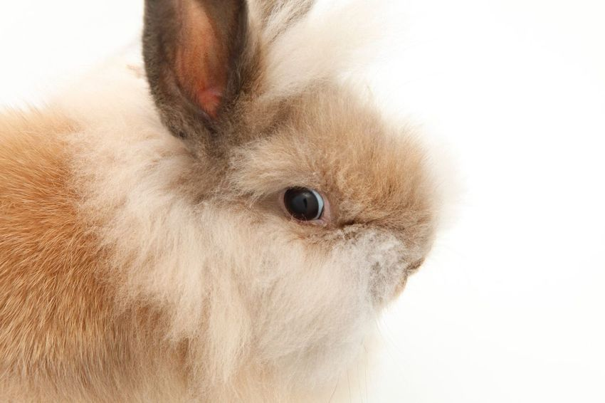 A profile of a Lionhead rabbit. One Animal Domestic Animals Mammal Animal Themes Close-up Indoors  Pets Studio Shot White Background No People Day Oryctolagus Cuniculus Rabbit Lionhead Pet Copy Space Mane Profile EyeEm Selects